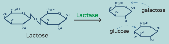 Lactose breaking down
