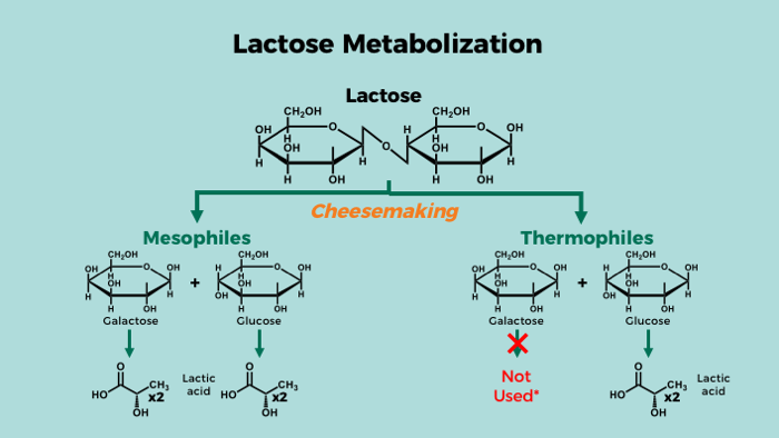 Lactose formation