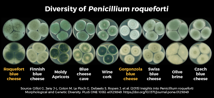 https://www.cheesescience.org/assets/img/penicillium_types.png