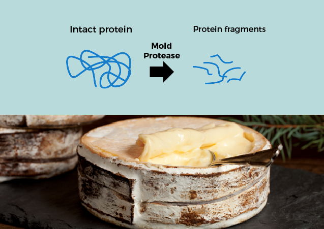 Brie Proteolysis